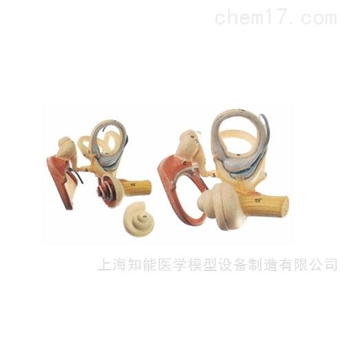 内耳、听小骨及鼓膜放大模型