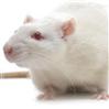 疼痛动物模型构建