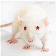小鼠肝脏HE染色