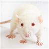 细菌感染动物模型构建