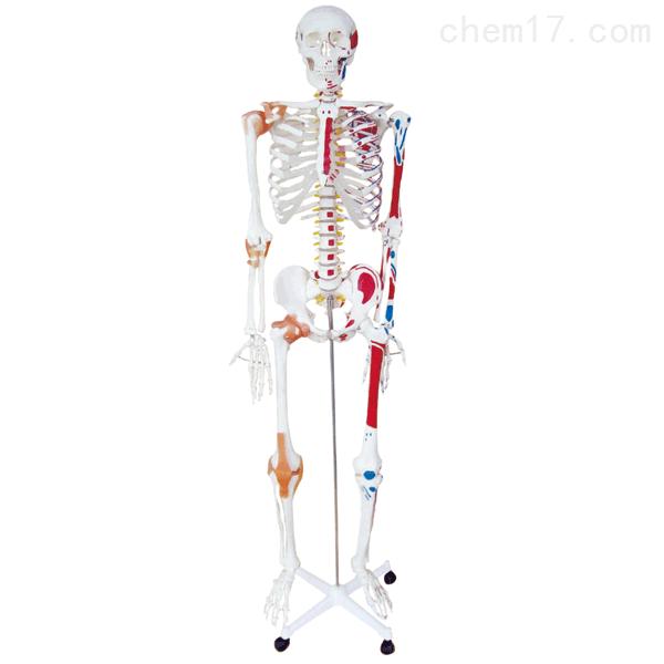 人体骨骼半边肌肉着色附韧带模型(180cm) 人体各大器官