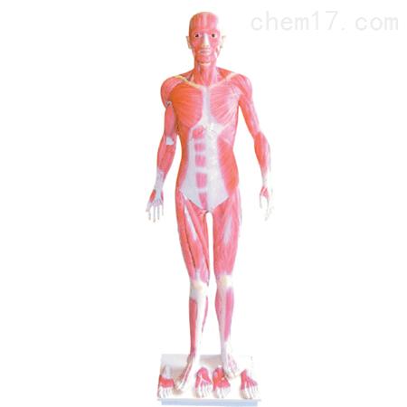人体全身肌肉解剖模型 人体各大器官