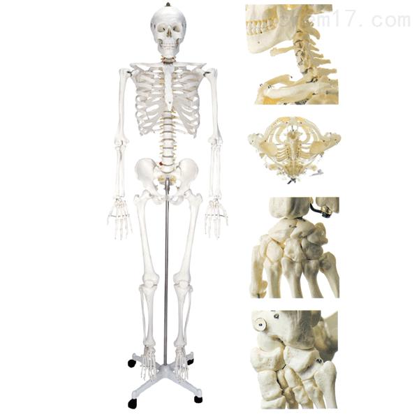 女性人体骨骼模型 人体各大器官