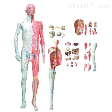 人体全身解剖层次分解模型