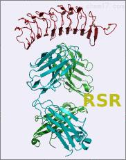 鼠抗猪促甲状腺激素受体C端单克隆抗体