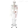 KAH/A11102/2人体骨骼半边肌肉着色模型(180cm) 人体各大器官
