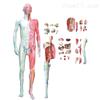 KAH/A11302人体全身解剖层次分解模型 人体各大器官