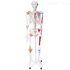 KAH/A11102/1人体骨骼半边肌肉着色附韧带模型(180cm) 人体各大器官