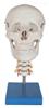 KAH/A135头骨带颈椎模型 人体各大器官